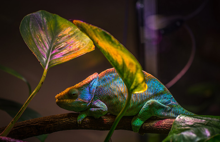 Br24 Blog 7 Photo Editing Styles - High Contrast Style: Close-up of a colourful chameleon, highlighted colours