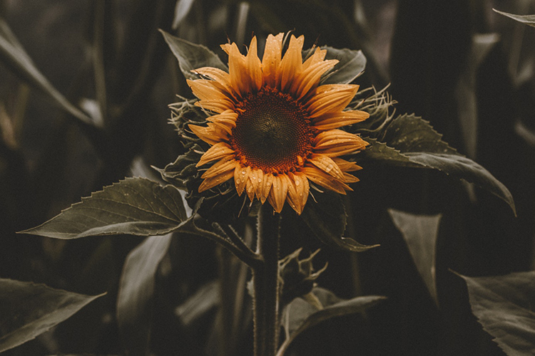 Br24 Blog 7 Photo Editing Styles - Muted Colours Style: Close-up of a sunflower, desaturated colours