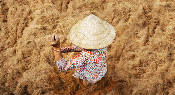 Br24 Retouching: photo shoot, local woman from above during harvest season with traditional Asian straw hat