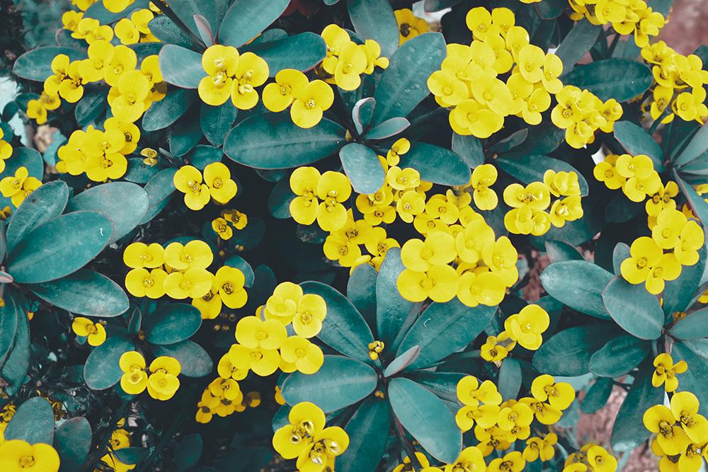 Br24 Farbkorrektur: Nahaufaufnahme von einem Busch mit kleinen gelben Blumen