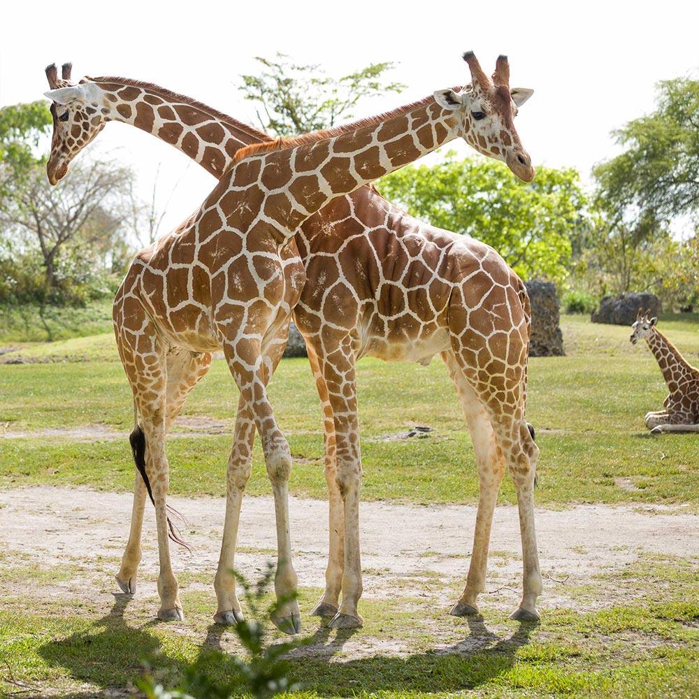 Br24 Composing: Foto von zwei Giraffen mit überkreuzten Hälsen in einer grünen Landschaft, vor Composing