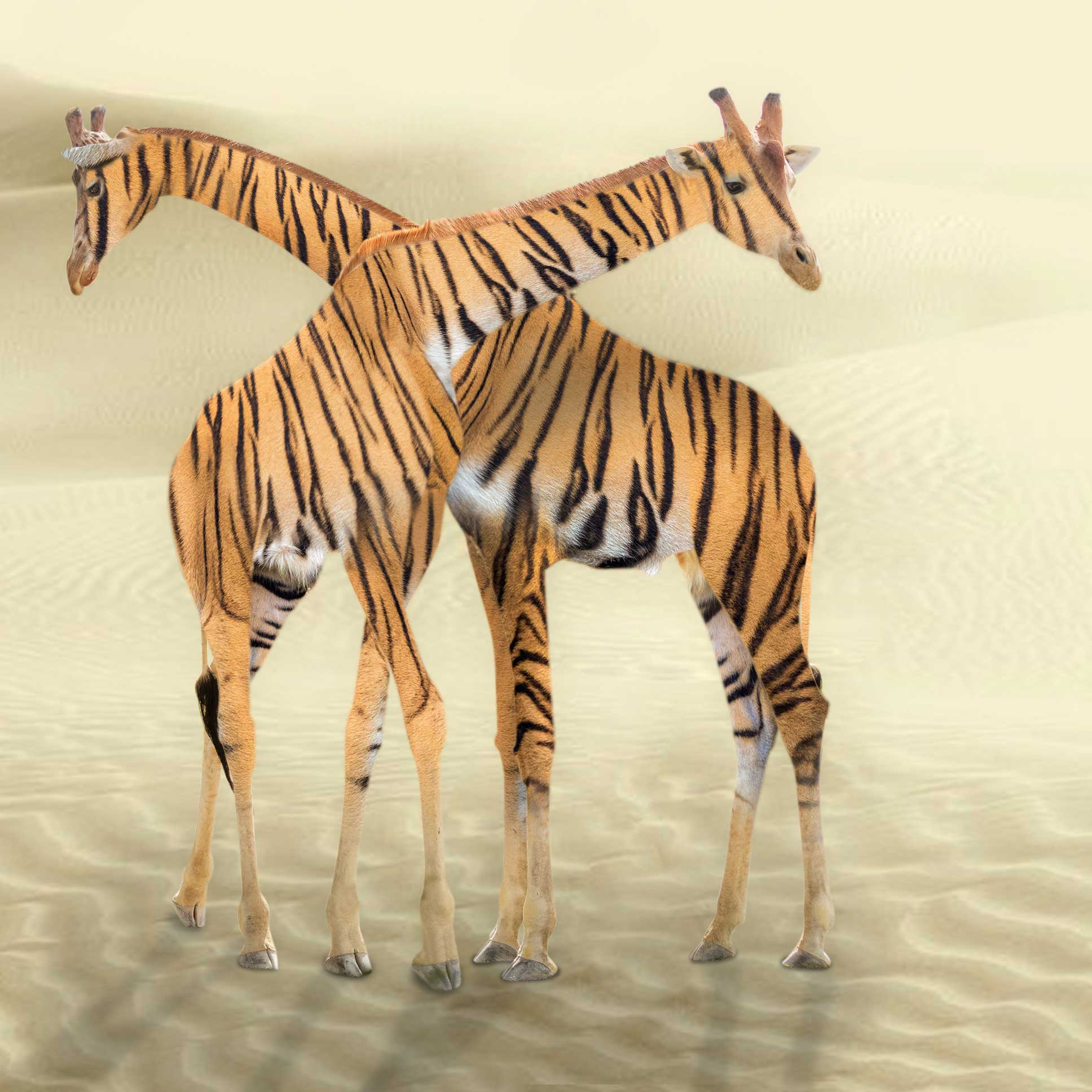 Br24 Composing: Photo of two giraffes with crossed necks and tiger fur texture in a desert landscape, after Composing