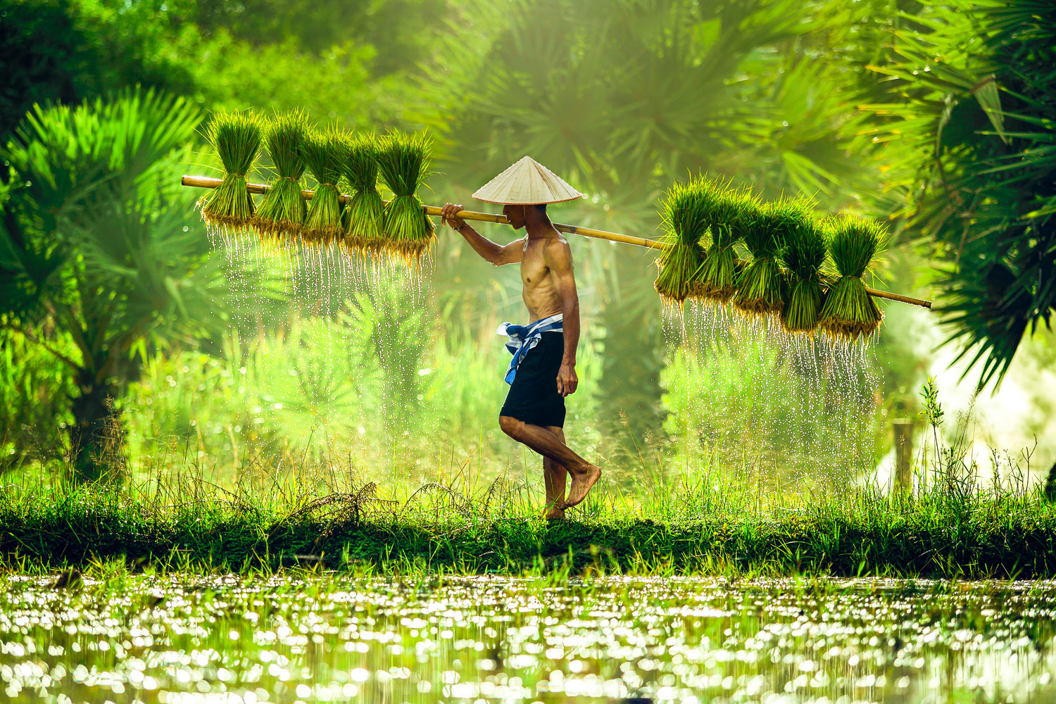 Br24 Colour Correction: local man at river carries rice plants, rice harvest season