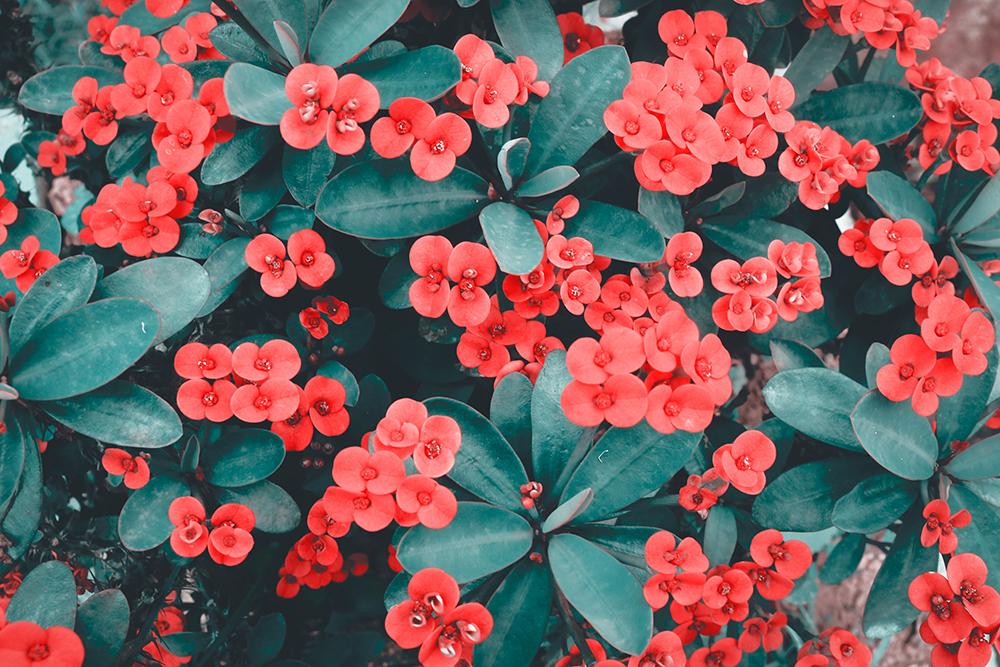 Br24 Farbkorrektur: Nahaufaufnahme von einem Busch mit kleinen roten Blumen